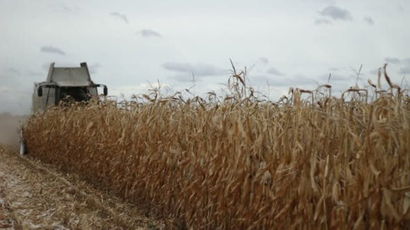 Cover Image for Combine Harvester Gathering Maize Corn