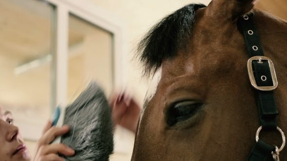 Thumbnail for : Man Combing a Muzzle Horse