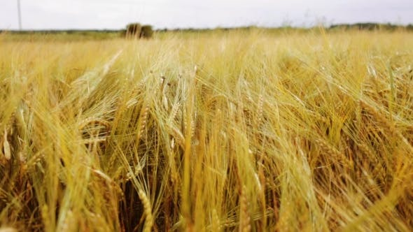 Thumbnail for Cereal Field With Spikelets Of Ripe Rye Or Wheat