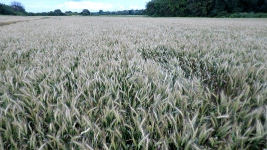 Thumbnail for Aerial Footage Of Wheatfield 3