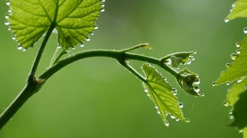 The Bush Vine