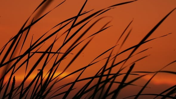 Thumbnail for The Reeds On Sunset Background