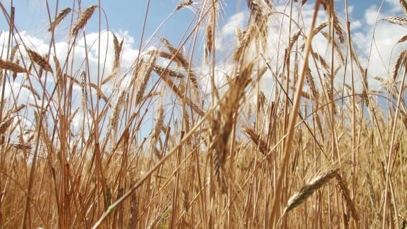Cover Image for Wheat Field And Spikelets