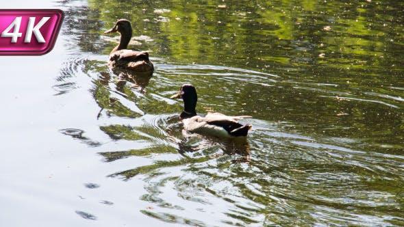 Ducks in the Marsh Pond
