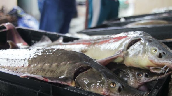 Thumbnail for Fresh Fish In Ice On The Counter Market