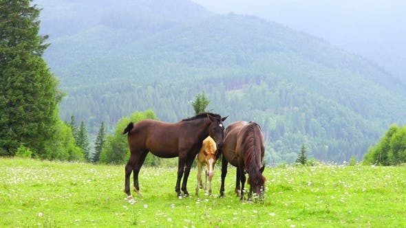 Thumbnail for Horses Grazing in a Meadow