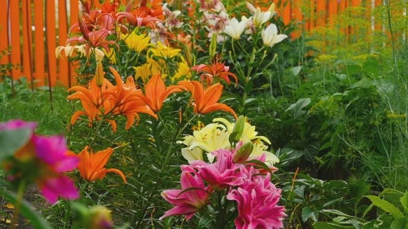 Thumbnail for Colorful Lilies Under The Rain