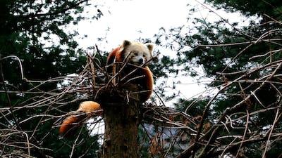 Red Panda 2