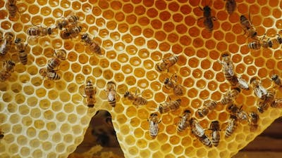 Bees are Processed Nectar to Honey. On Honeycombs With Honey.