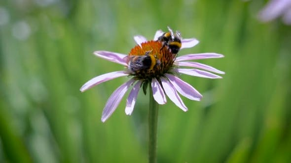 Thumbnail for Two Bumblebees Collecting Nectar On a Daisy