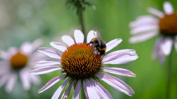 Thumbnail for The Bumblebee Collecting Nectar On a Daisy
