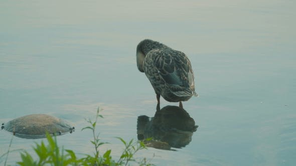 Thumbnail for Duck On a Pond Cleans Feathers