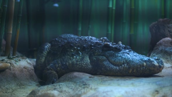 Thumbnail for Scary Alligator In The Zoo