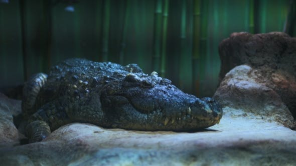Thumbnail for Big Scary Alligator in the Zoo