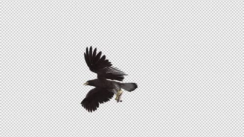 Eurasian White Tail Eagle With Fish - Flying Transition III