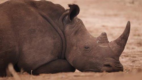 Endangered Rhino Lying Down, Zambia, Africa. 4K