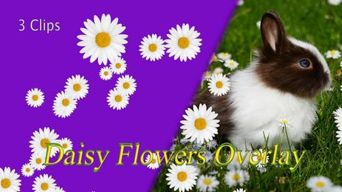 Daisy Flowers Overlay