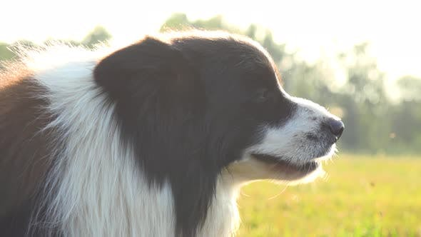 Thumbnail for A Border Collie Breathes Rapidly and Stands in a Meadow - Closeup