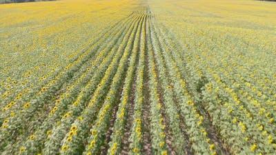 Sunflower field aerial