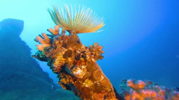 Soft Coral Tube Worm