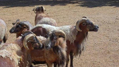 Herd Of Brown Sheep Rumming In The Barn And Watching Around