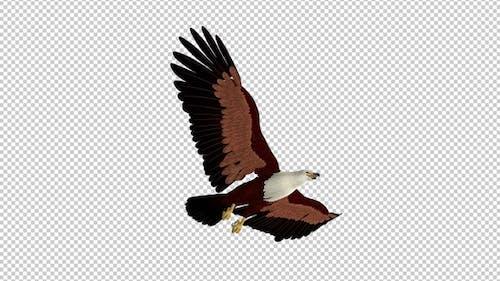 Brahminy Kite - 4K Flying Transition - III