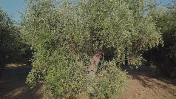 Thumbnail for Olivenbäume Zweige im Anbau