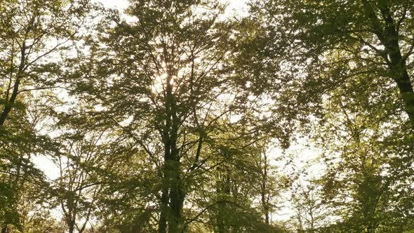 Thumbnail for Sun Shining Brightly on Leave of Tall Tree in the Forest