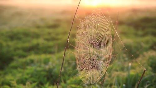 Cobweb in Dew Drops in Misty Dawn. Cobweb Swaying in the Wind