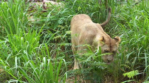 female lion eating a grass in field