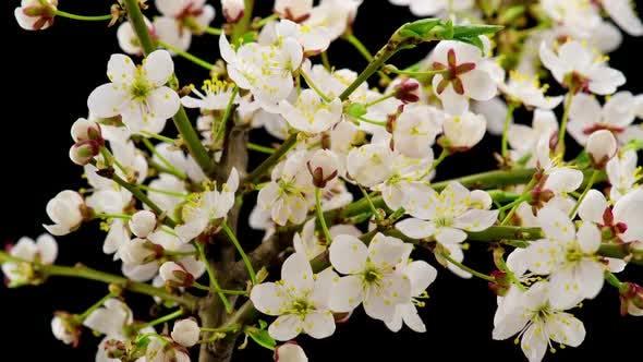 Thumbnail for Weiße Blumen Blüten auf den Ästen Kirschbaum. Zeitraffer