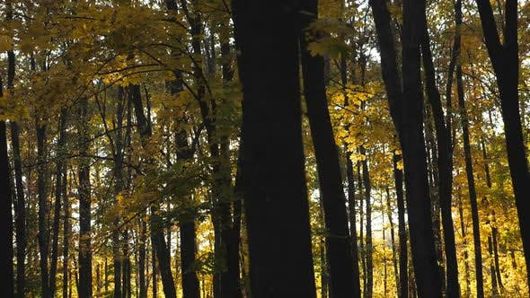 Thumbnail for Bright Sunlight Breaks Through High Trunks of Trees in Autumn Forest. Warm Sunbeams Illuminates Lush