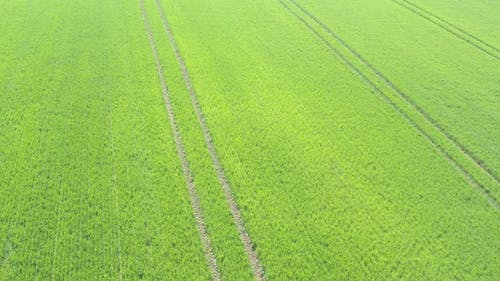 Tractor tire marks in the field of wheat 4K aerial footage