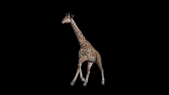 Thumbnail for Giraffe Run Front
