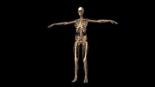 Weibliches Lymphsystem und Skelett