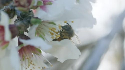 A Bee collects Nectar from a blooming almond tree flower, slow-motion footage