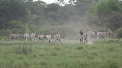 Herd of Zebras with young zebras playing