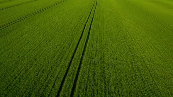 Thumbnail for Flying Over a Green Wheat Field, Agricultural Industry. Natural Texture Background in Motion