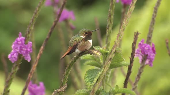 Scintillant Hummingbird Male Adult Lone Perched Looking Around
