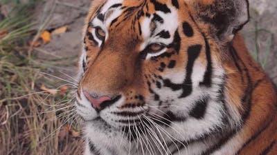 Siberian Tiger Close Up. The Siberian Tiger Was Also Called Amur Tiger, Manchurian Tiger