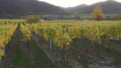 View Of Autumn Vineyards At The Sunset Time 9
