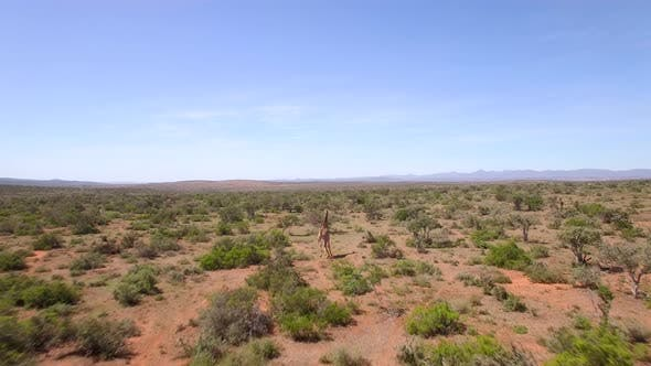 Thumbnail for Aerial travel drone view of Giraffes in Swartberg, South Africa.