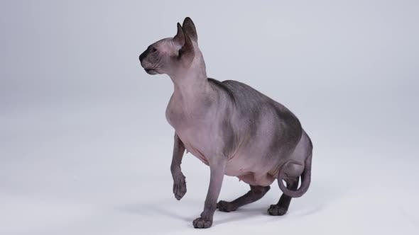 Thumbnail for Cat of the Canadian Sphynx Breed Posing on a Gray Background in the Studio