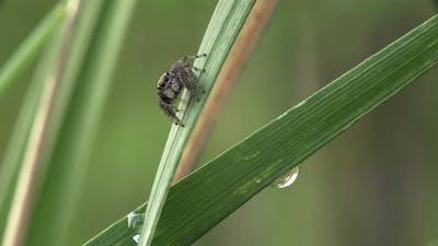 Evarcha Arcuata Spider In Grass