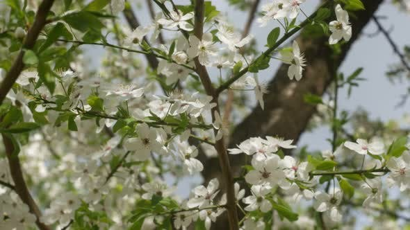 Thumbnail for Beautiful Flowers Of White Cherry