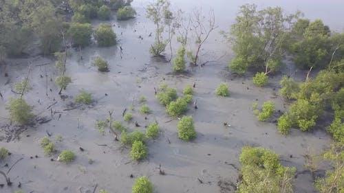 Mangrove trees live at coastal