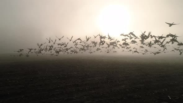 Thumbnail for Geese Taking Flight In Farm Field Low Fog Aerial