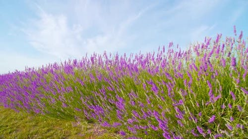 Lavender Grows Between Green Grass and Blue Sky