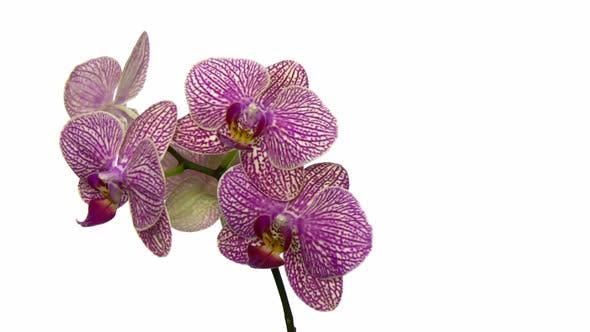 Thumbnail for Rotating purple mottled orchid, seamless loop