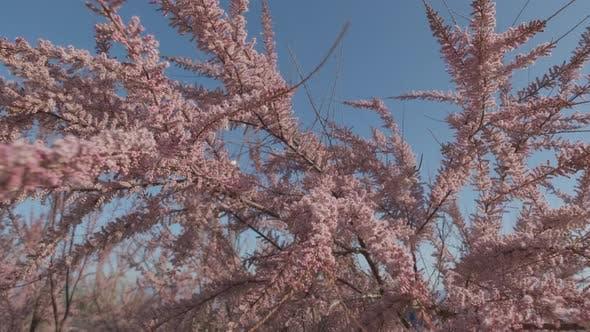 Spring Blossoming Judas Tree